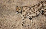 Guepardo mamífero más rápido