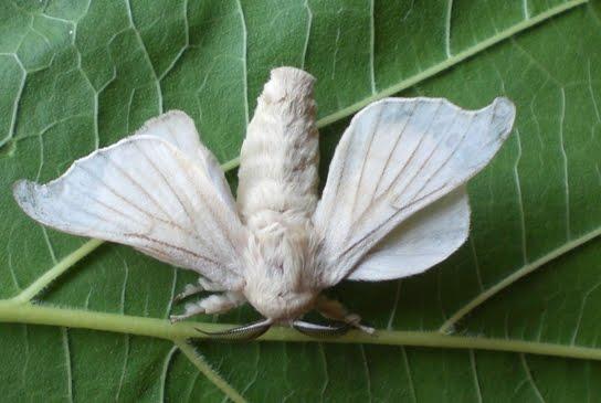 Mariposa del gusano de seda