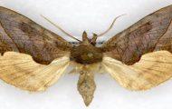 Mariposa Vampiro