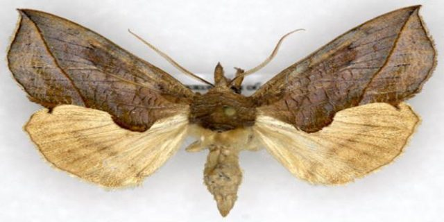 La mariposa vampiro (Calyptra Thalictr)